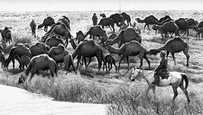 Верблюды госплемзавода «Сакар-Чага» Марыйской области на пастбище.