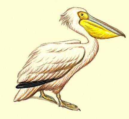 Розовый пеликан.
