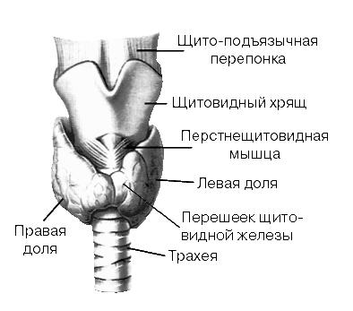 НАРУЖНОЕ СТРОЕНИЕ ЩИТОВИДНОЙ ЖЕЛЕЗЫ (вид спереди)