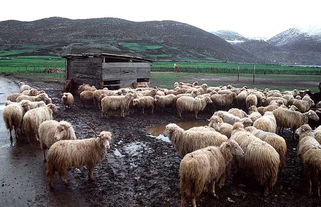 ОТАРА ОВЕЦ в восточной части Албании.