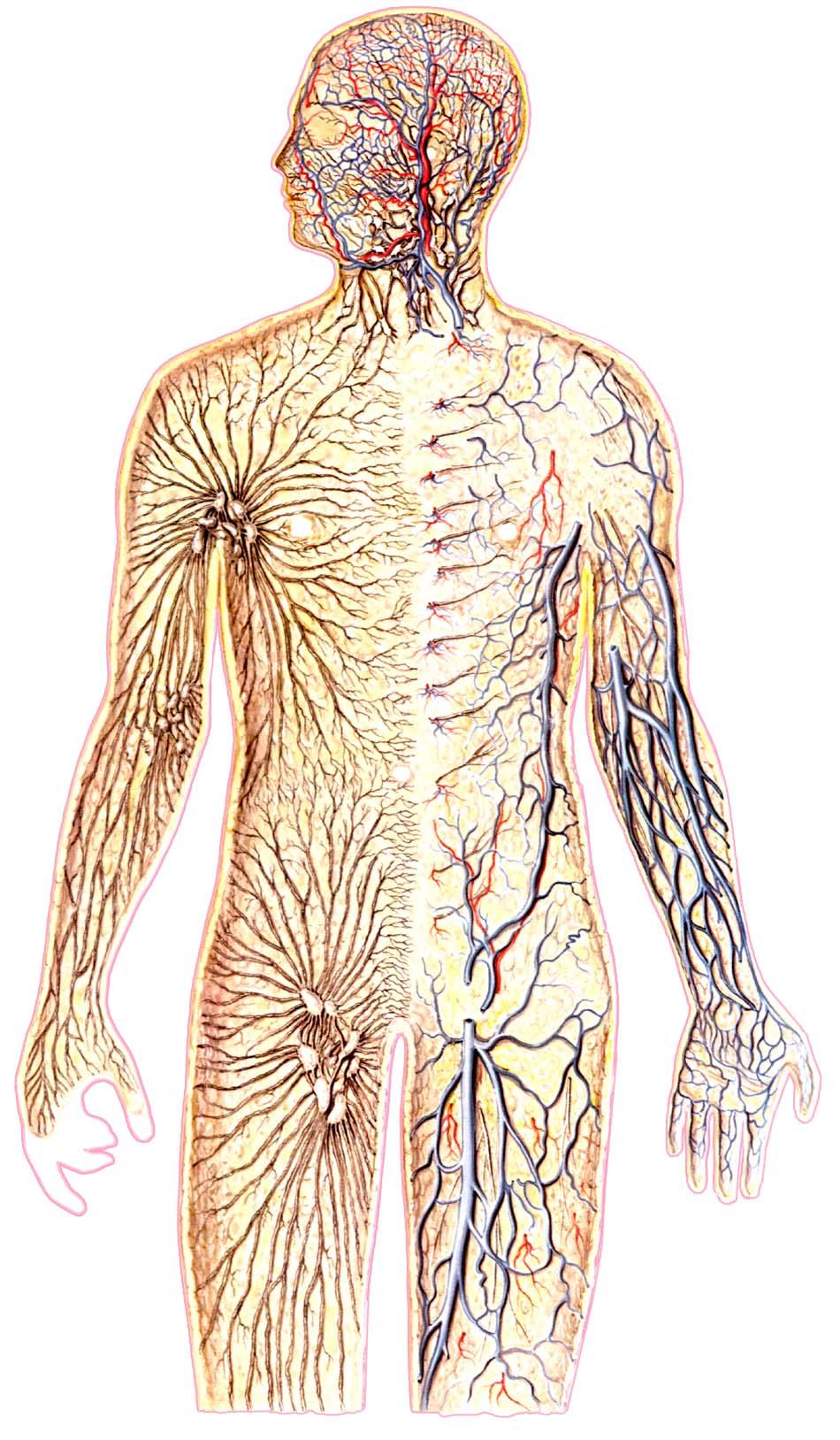 Лимфосистема человека с картинками