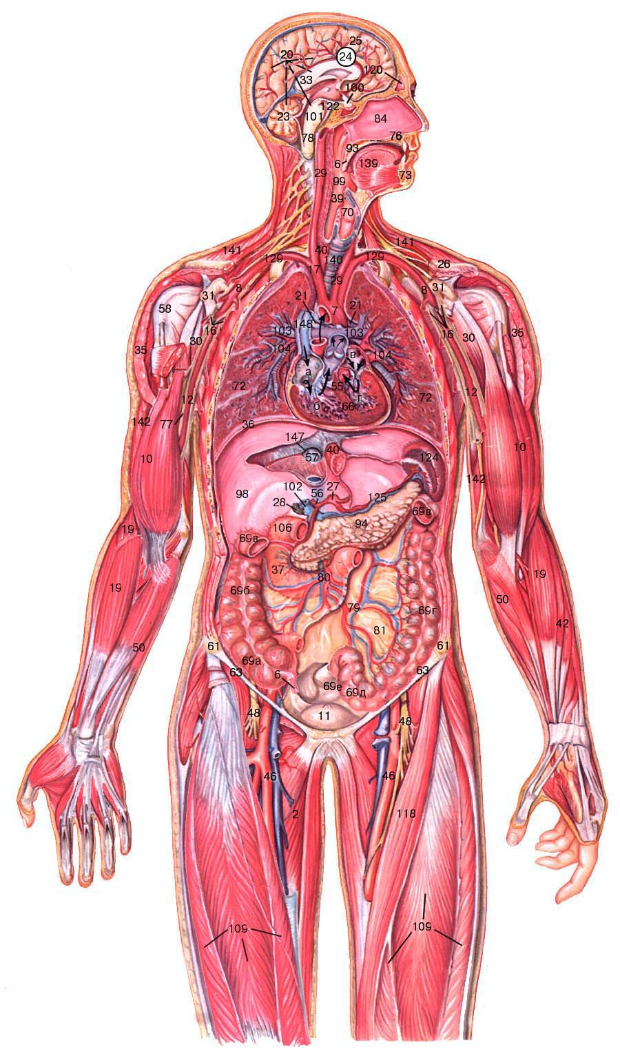 Биология строение человека картинки