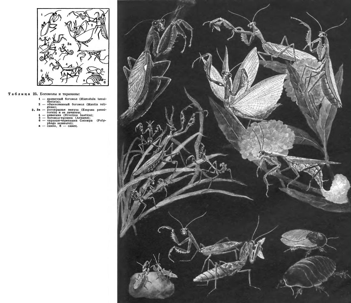 Отряд Богомоловые (Mantoptera или Mantodea)