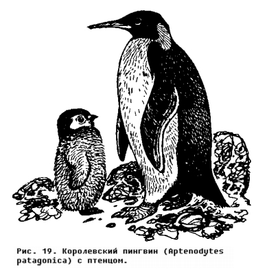 Отряд Пингвины (Sphenisciiormes)