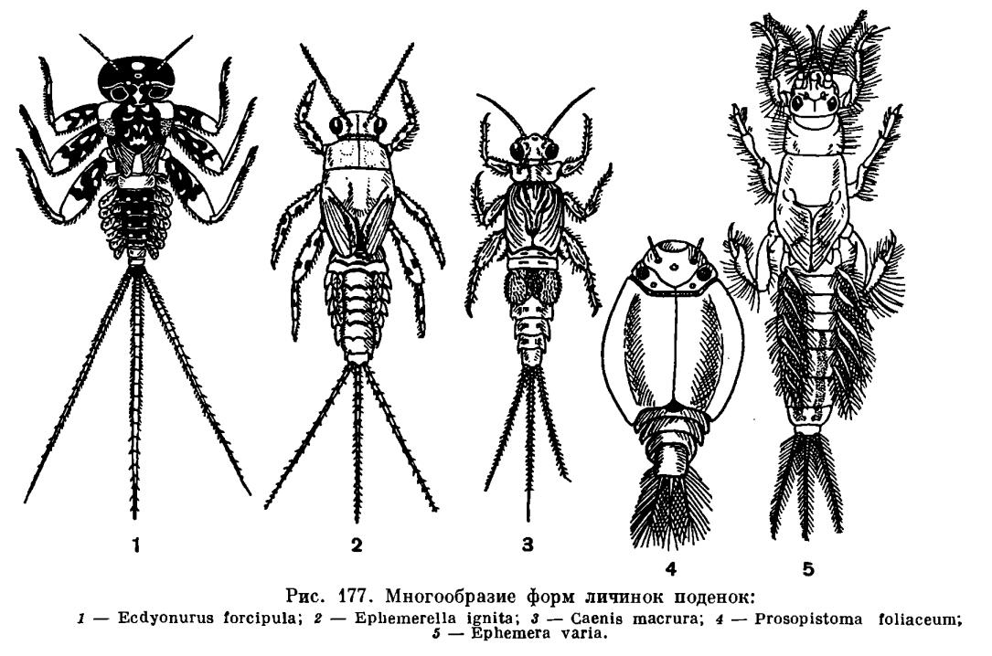 Отряд Поденки (Ephemeroptera)