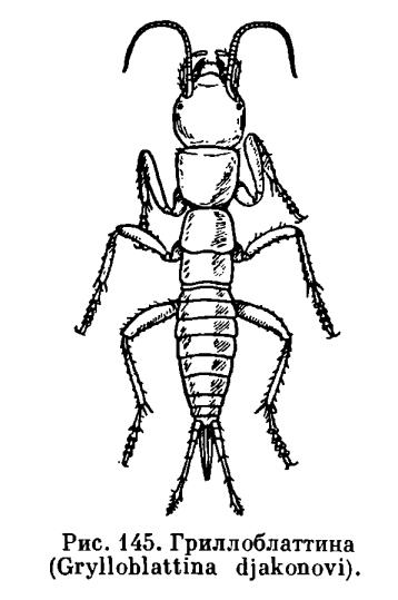 Отряд Гриллоблаттиды (Grylloblattida)