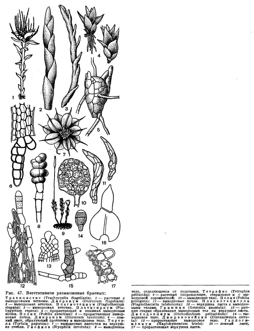 Вегетативное размножение2