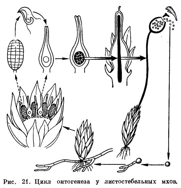 Цикл развития моховидных