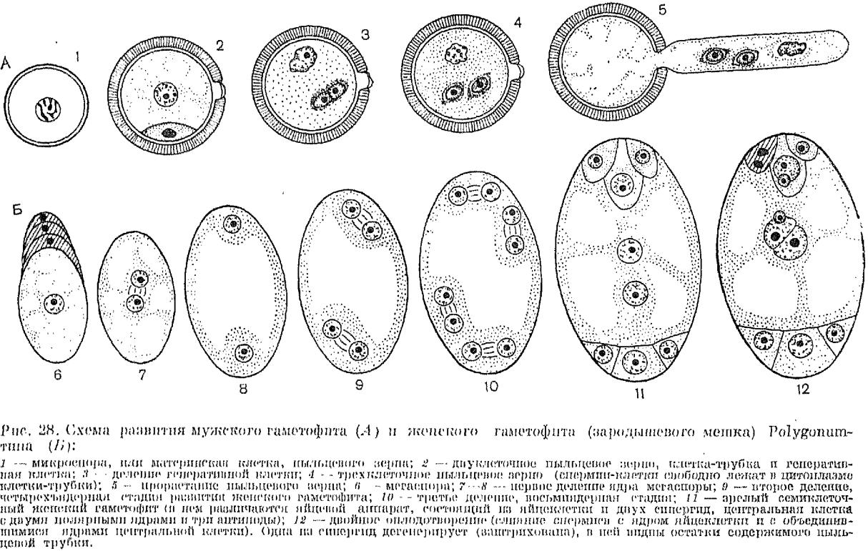 Женский гаметофит (зародышевый мешок)