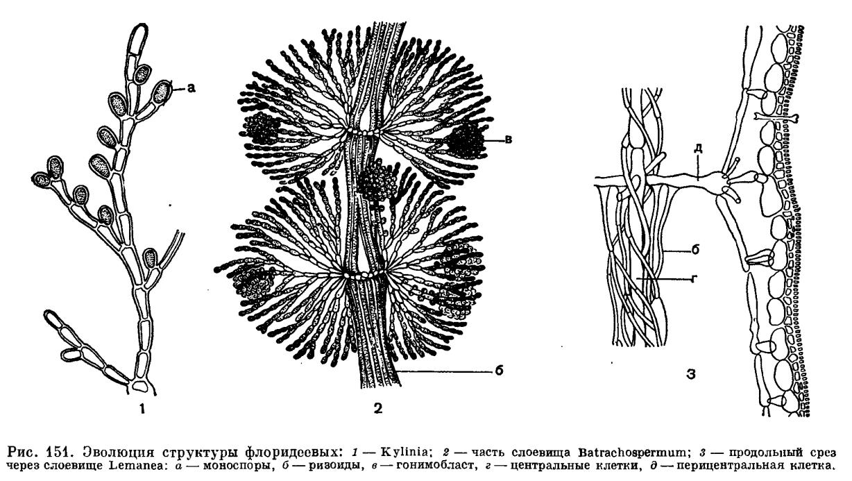 Строение слоевища красных водорослей