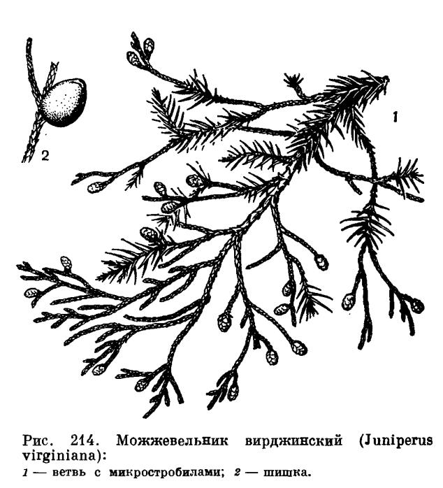Триба можжевельниковые (Junipereae)