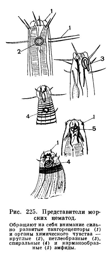 КЛАСС НЕМАТОДЫ или КРУГЛЫЕ ЧЕРВИ (NEMATODA)