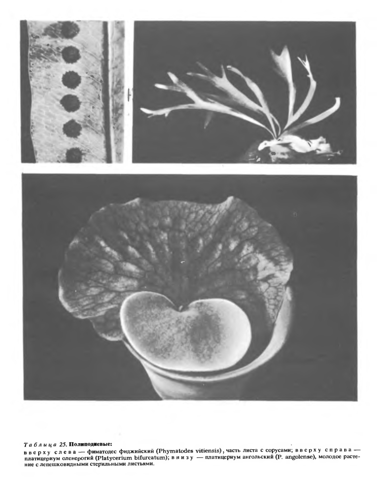 Жизненные формы папоротников