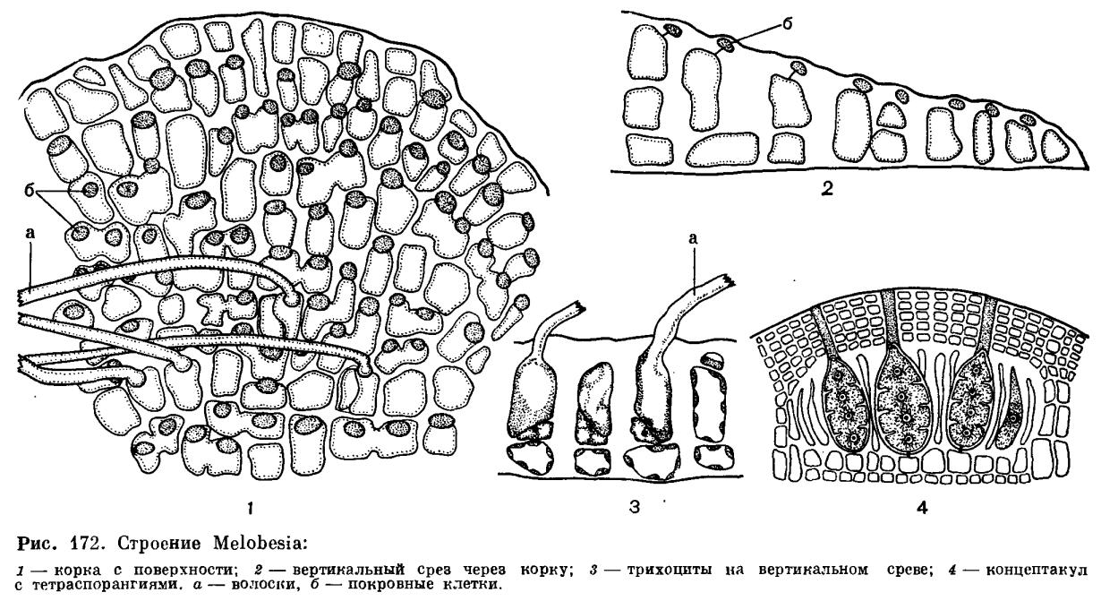 Строении клетки красных водорослей