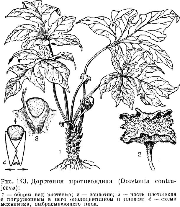 Триба дорстениевые (Dorstenieae)