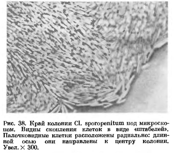 Анаэробные спорообразующие бактерии. Роды клостридиум (Clostridium) и десульфотомакулум (Desulfotomaculum)