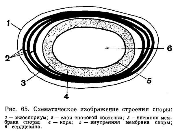 Аэробные спорообразующие бактерии. Род бациллюс (Bacillus)