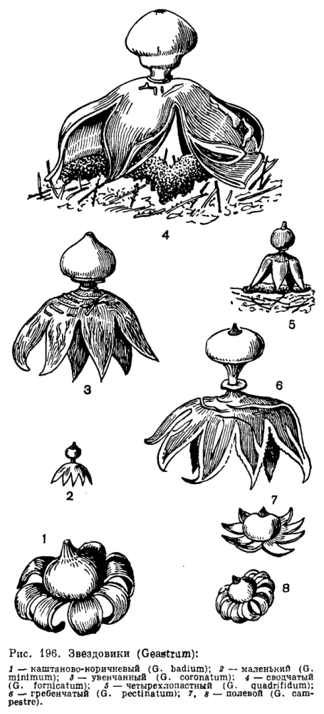 Группа порядков Гастеромицеты
