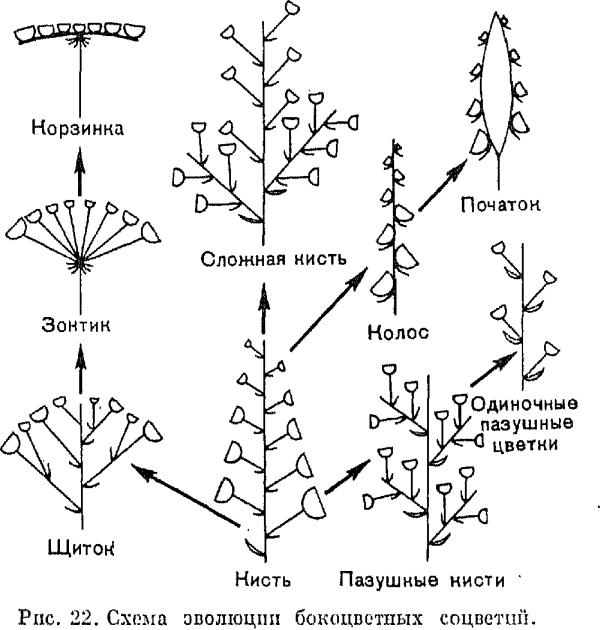 Бокоцветные или открытые соцветия