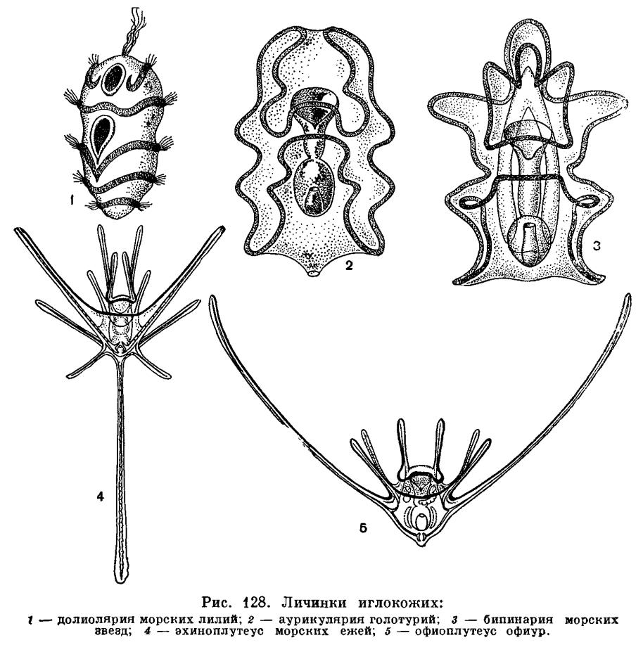 КЛАСС МОРСКИЕ КУБЫШКИ (HOLOTHURIDEA)