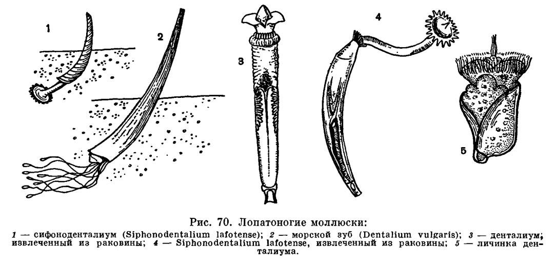 КЛАСС ЛОПАТОНОГИЕ (SCAPHOPODA)