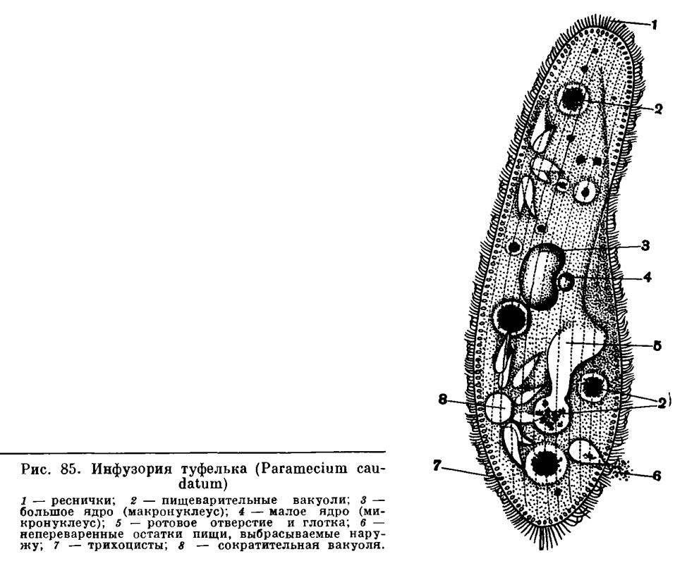 КЛАСС ИНФУЗОРИИ (INFUSORIA или CILIATA)