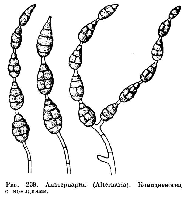Род Альтернария (Alternaria)