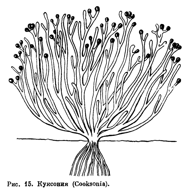 ОТДЕЛ РИНИОФИТЫ (RHYNIOPHYTA)