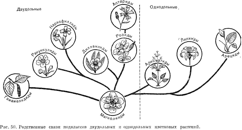 Классификация и филогения цветковых растений