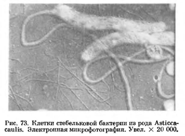 Стебельковые бактерии