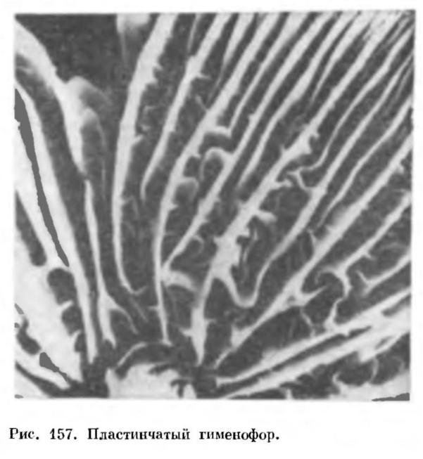 Группа порядков Гнменомицеты