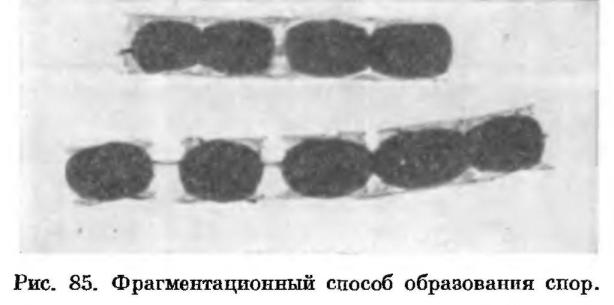 Строение лучистых грибков