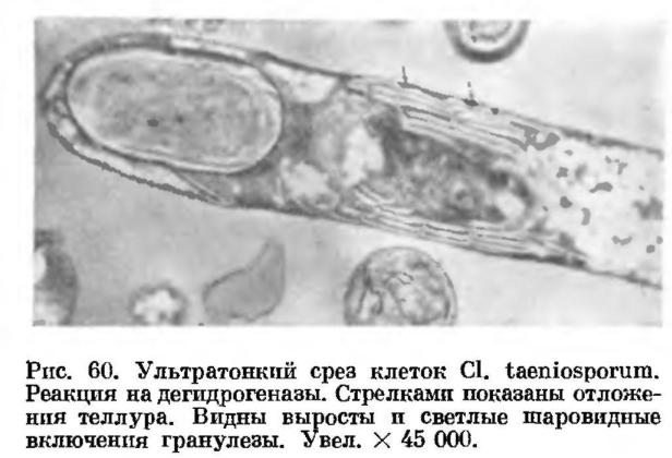 Физиологические и биологические особенности спорообразующих анаэробных бактерий