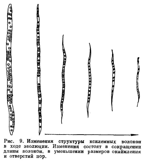 Запасающие и опорные ткани стебля