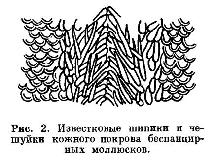 КЛАСС БЕСПАНЦИРНЫЕ (APLACOPHORA)