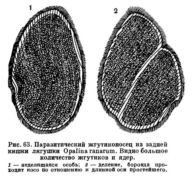 КЛАСС ЖГУТИКОНОСЦЫ (MASTIGOPHORA или FLAGELLAТА)