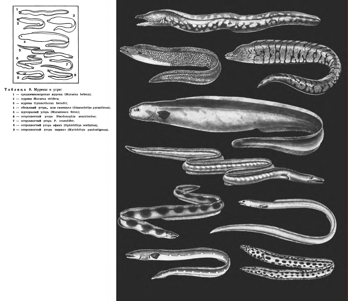 Надотряд Ангвиллоидные (Anguillomorpha)