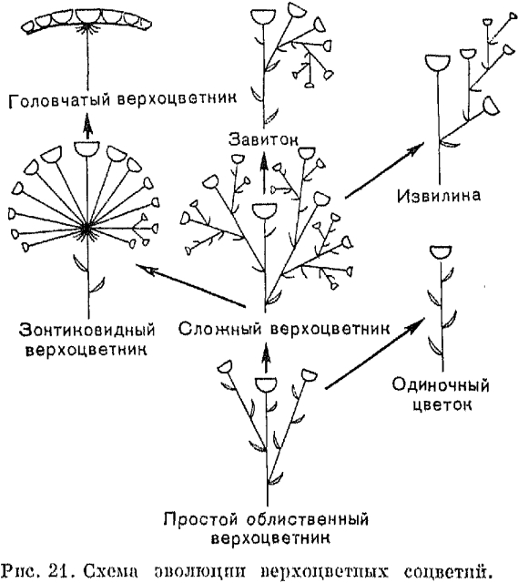 Верхоцветные или закрытые соцветия