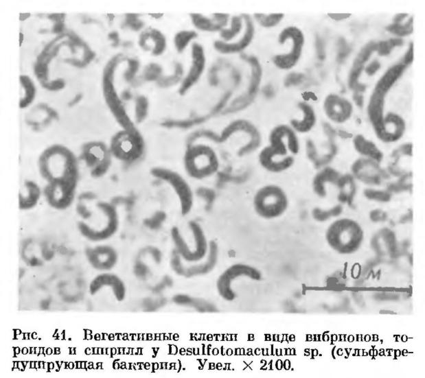 Строение клеток спорообразующих анаэробных бактерий