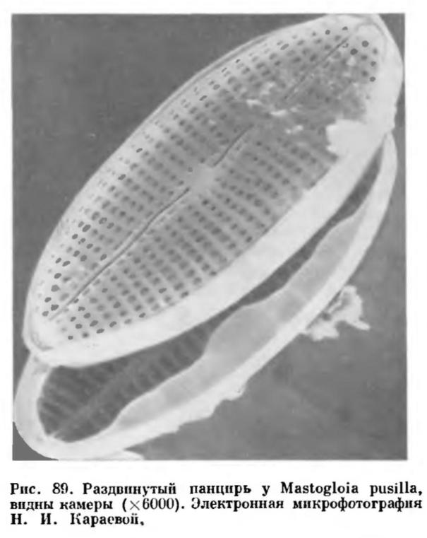 Строение клетки диатомовых водорослей