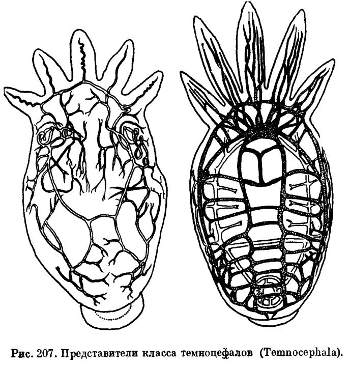 КЛАСС ТЕМНОЦЕФАЛЫ (ТЕМNOCEPHALA)