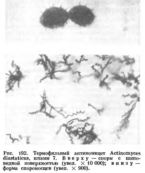 Термофильные лучистые грибки (актиномицеты)