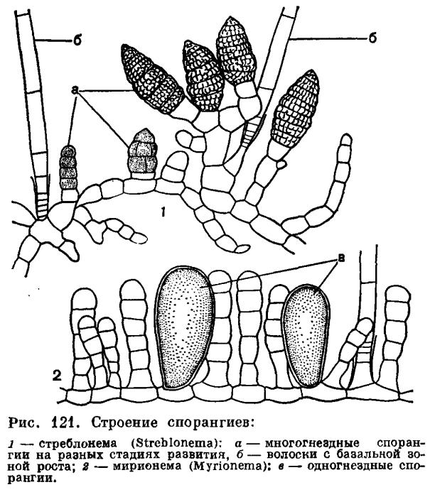Отдел бурые водоросли (Phaeophyta)