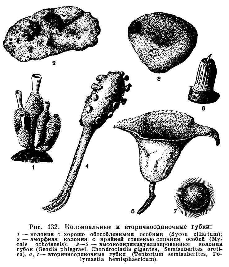 ТИП ГУБКИ (PORIFERA или SPONGIA)