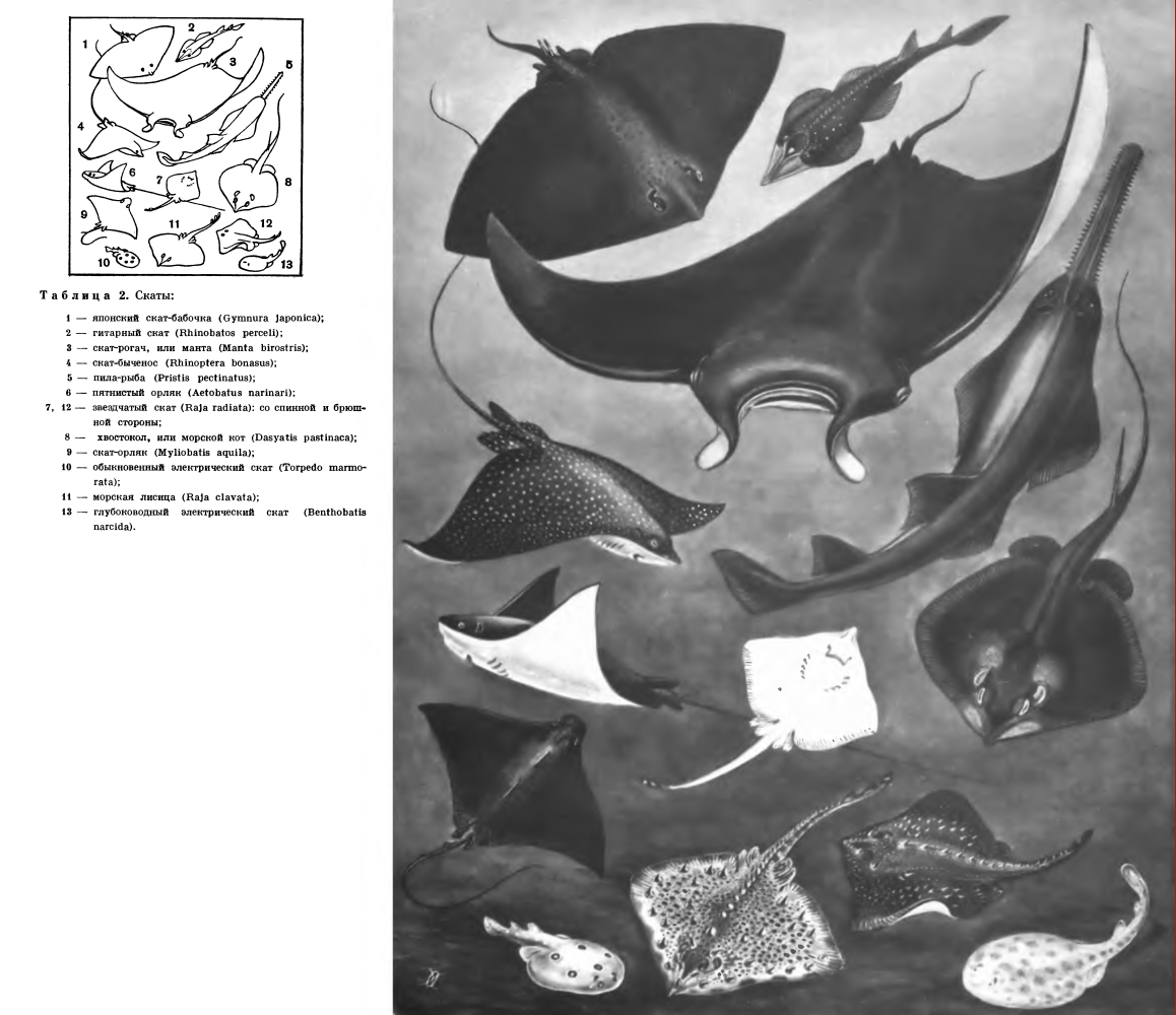 Надотряд Скаты (Batomorpha)