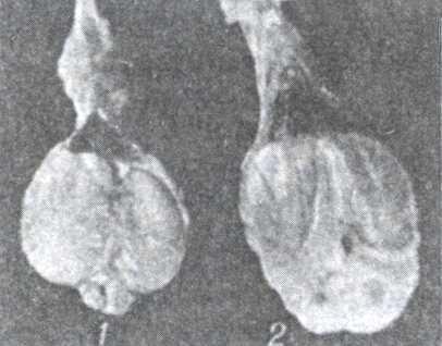 Рис.2. Разрез семенников барана.