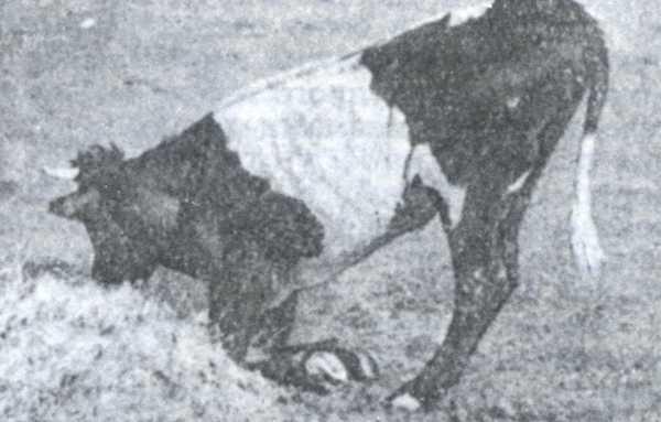 Рис.2. Поражение передних конечностей у крупного рогатого скота при ящуре.