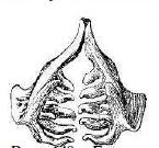Рис. 140. Глоточные зубы густеры.