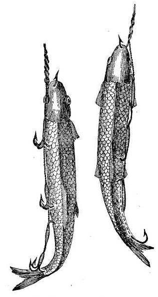 Рис. 44. Мертвые рыбки, насаженные на сложные сэты.