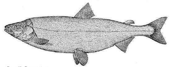Рис. 68. Белорыбица.